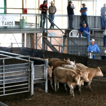 Safety training for users of Scone Saleyards